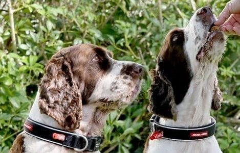 Two Springer Spaniels receiving a home-made dog biscuit treat