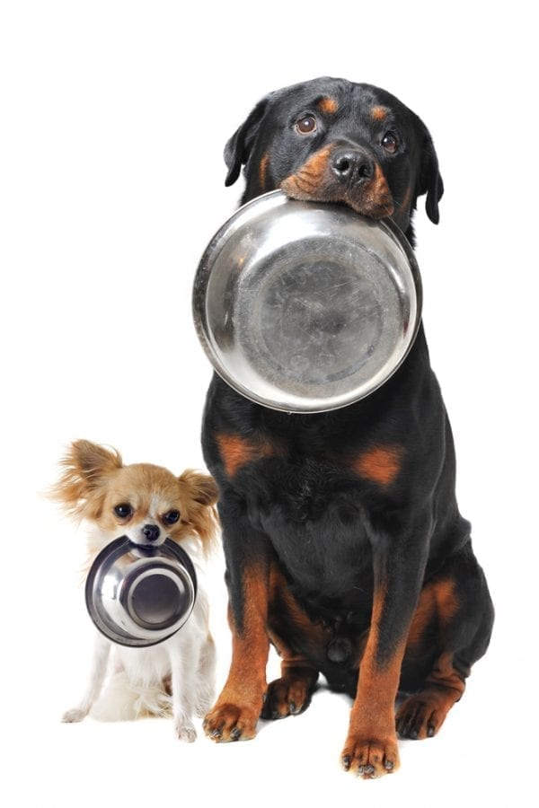 Chihauhua and Rottweiler dogs holding bowls in their mouth waiting for some home-made dog treats